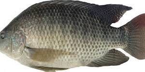 Tilapia Whole gutted (500/800grams)