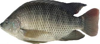 Whole gutted Tilapia (500/800grams)