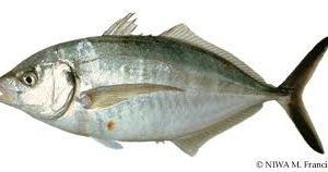 Trevally or Giant Kingfish.  Typical weight 2 to 2.5 lbs per fish.